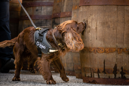 Rocco the dog who works in a whisky distillery