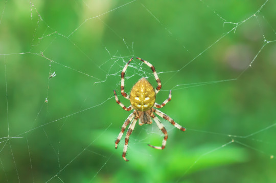 Four spot spider